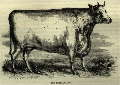 The Durham Cow