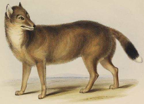 Falklands Fox