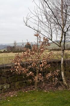 Darwin bicentennial oak