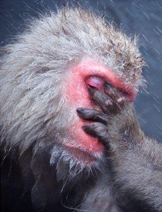 Monkey facepalm