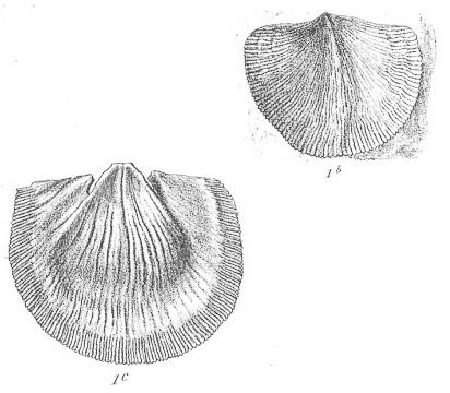 Spirifer hawkinsii. Taken from Plate X of Morris, J., Sharpe, D. 1846. Description of eight species of brachyopodous shells from the Palaeozoic rocks of the Falkland Islands. Quarterly Journal of the Geological Society 2: (25 March) 274-278, pls. X - XI.