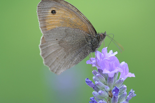 Meadow Brown butterfly feeding on lavendar