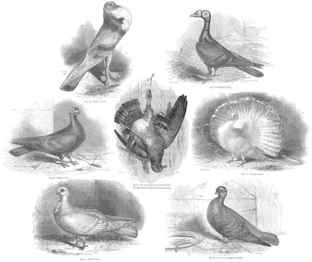 Pigeon breeds